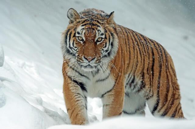 תמונה של נמר בשלג