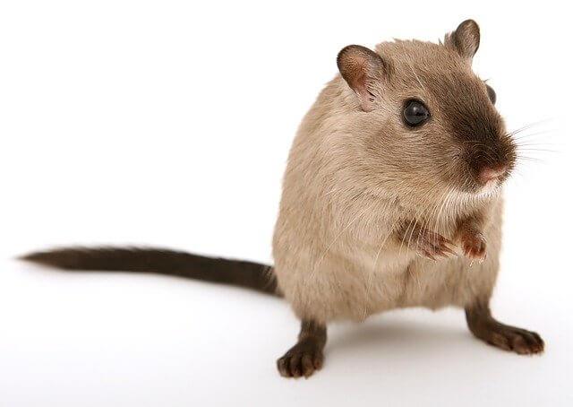 תמונה של עכבר
