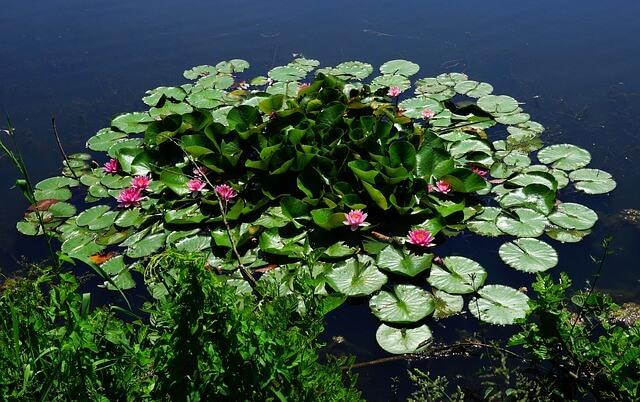צמחי מים - פרחים על מים