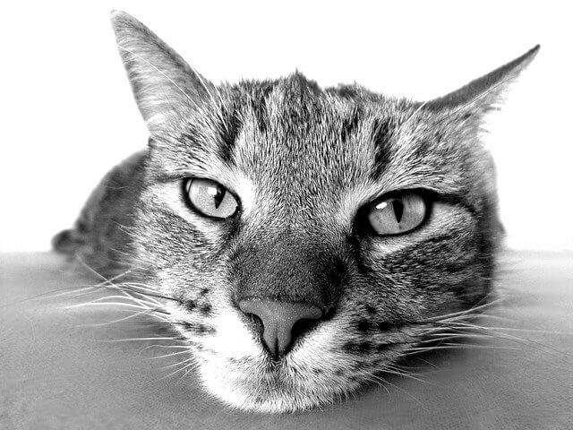 חתול בשחור לבן