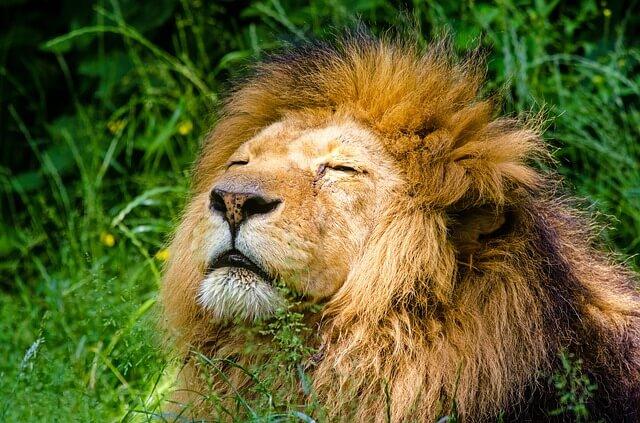 אריה בטבע