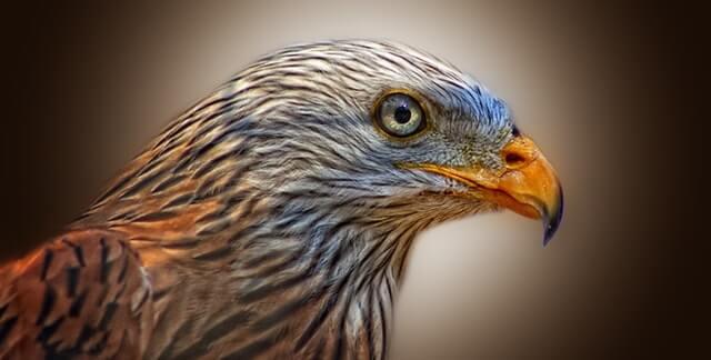 תמונה של עוף טורף