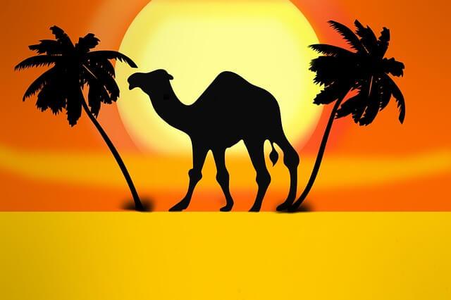 גמל במדבר