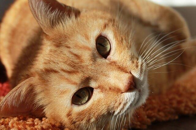חתול ג'ינג'י