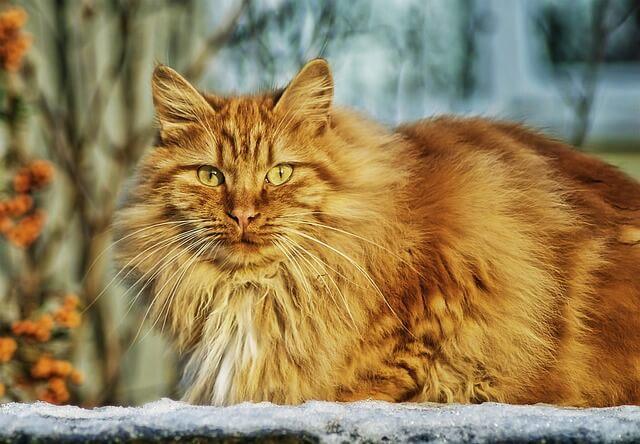 חתול פרוותי