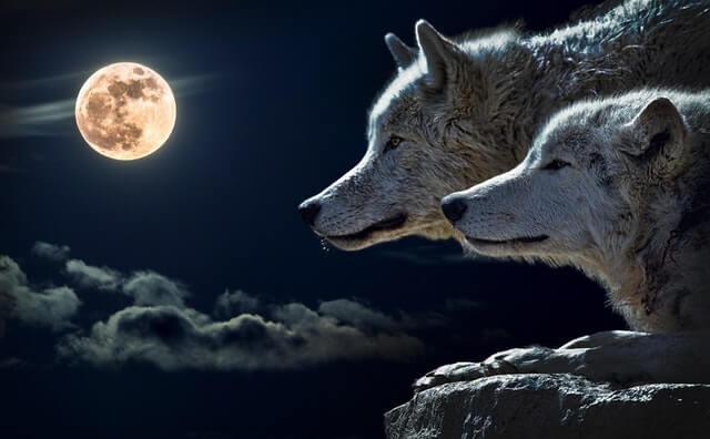 תמונה של זאבים