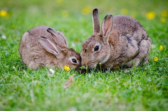 ארנבים בטבע