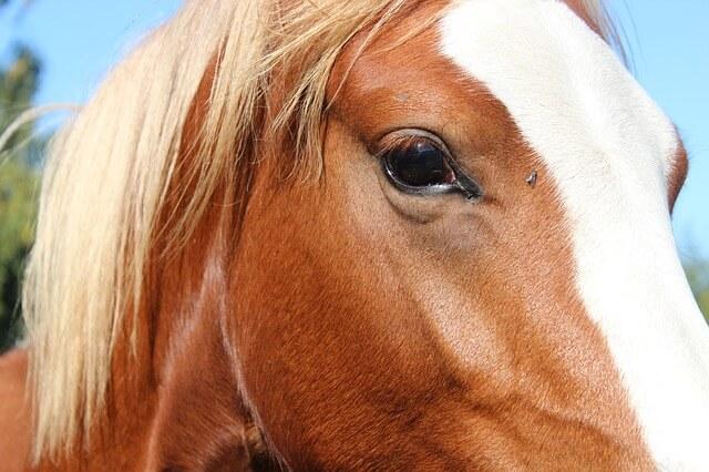 עין של סוס