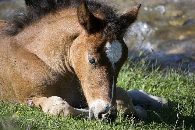 סיח - סוס צעיר