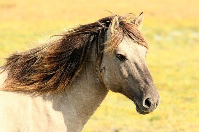 סוס יפה