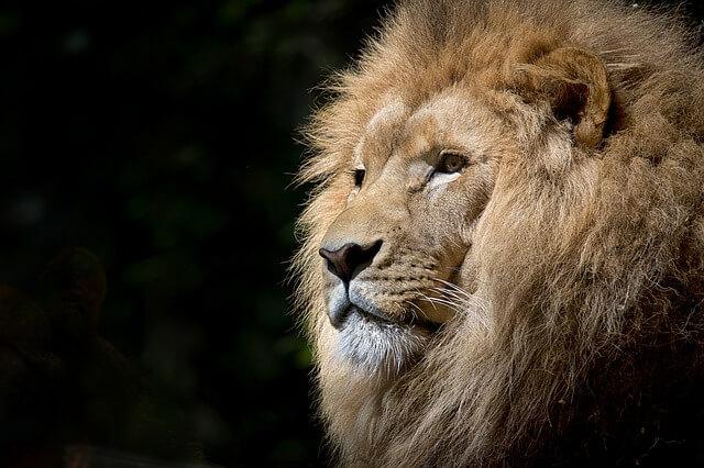 אריה עם רקע