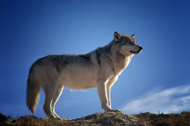 זאב על הר