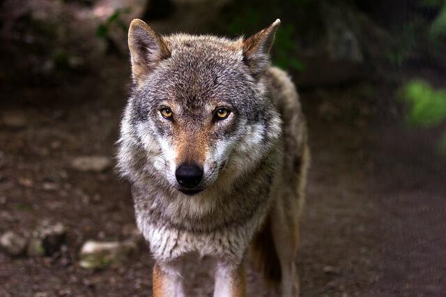 זאב 2