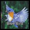 פאזל קל. לוחצים פעם אחת על החלק ואז על המקום המתאים בתמונה(לא גוררים את החלק עם העכבר). תרכיבו את כל החלקים בפאזל עד שתקבלו את התמונה השלמה של הציפור הכחולה.