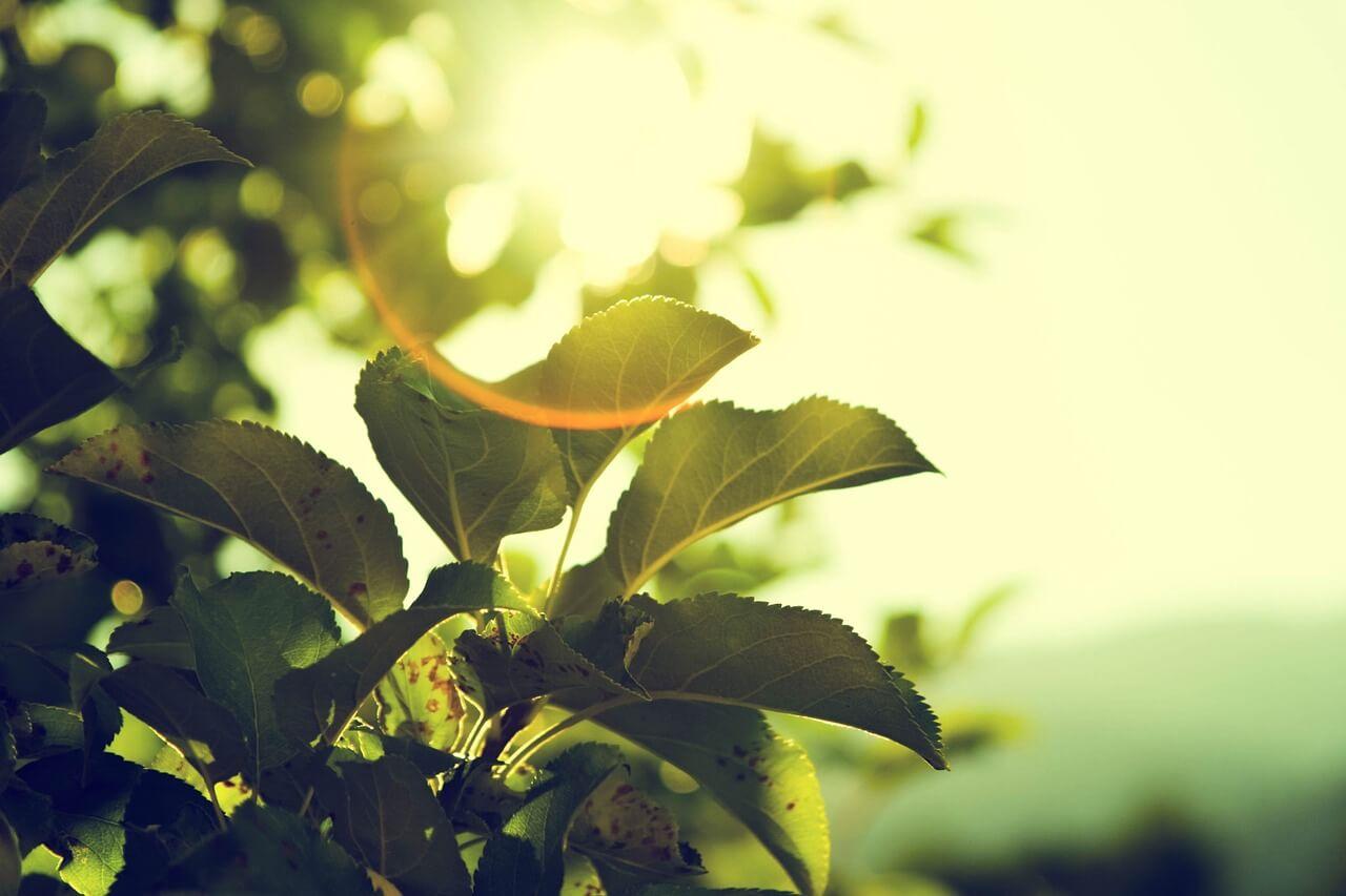 שמש בין העלים