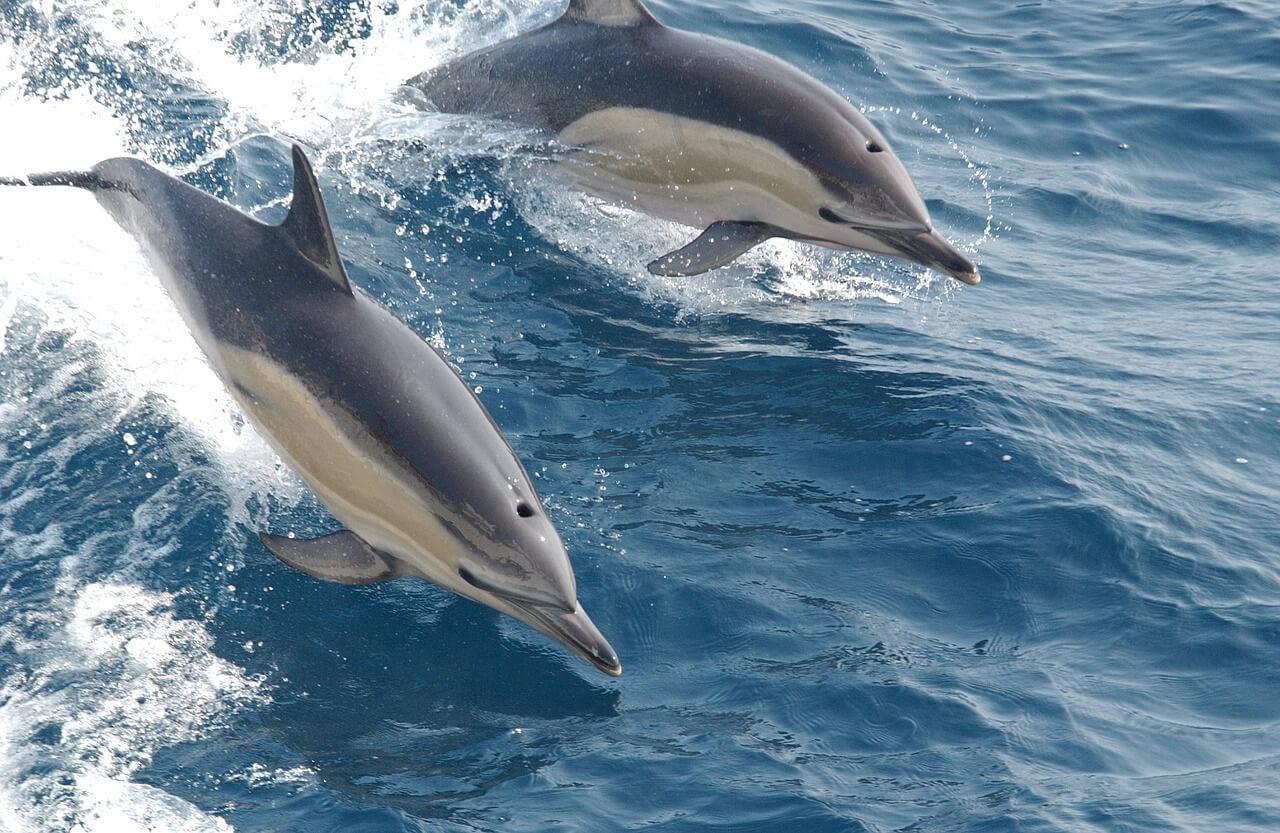 רקע של דולפינים