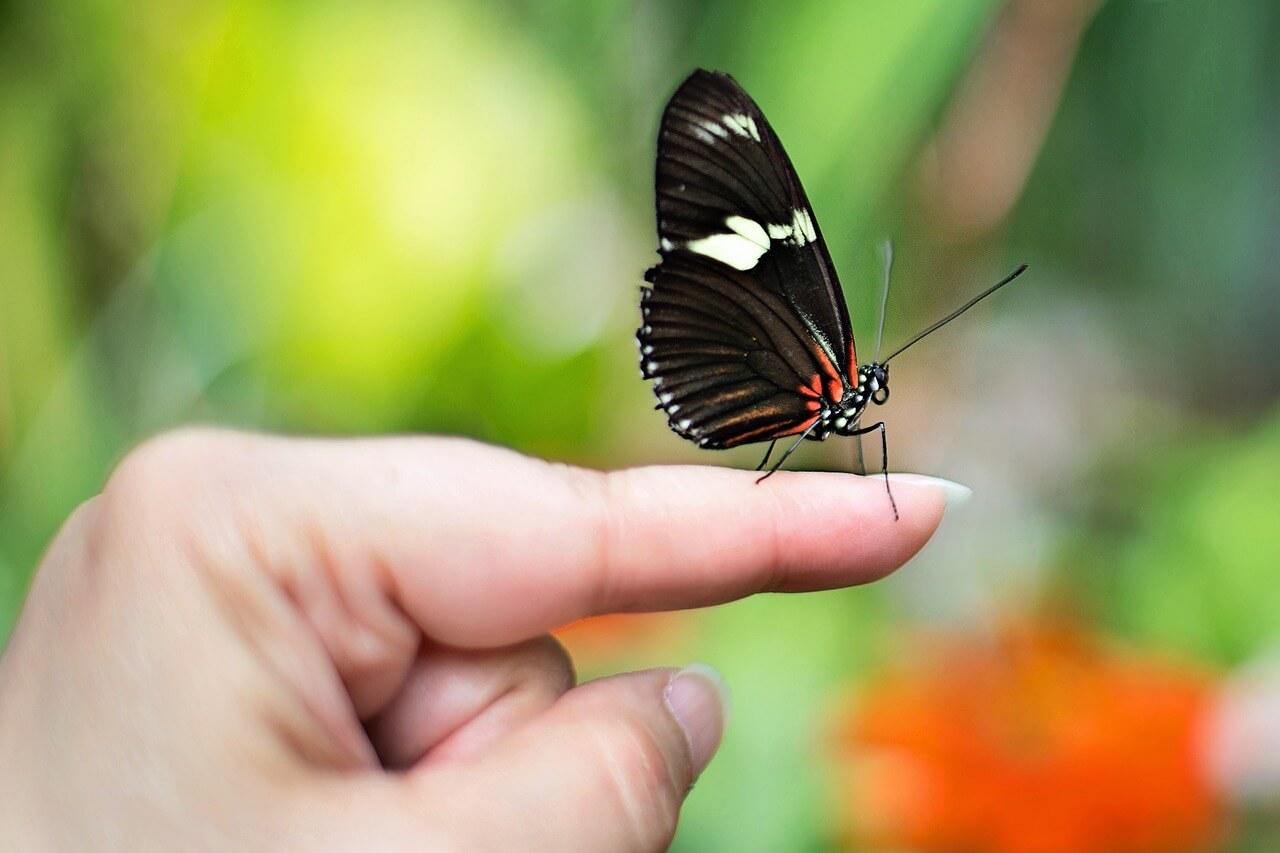פרפר שחור על יד