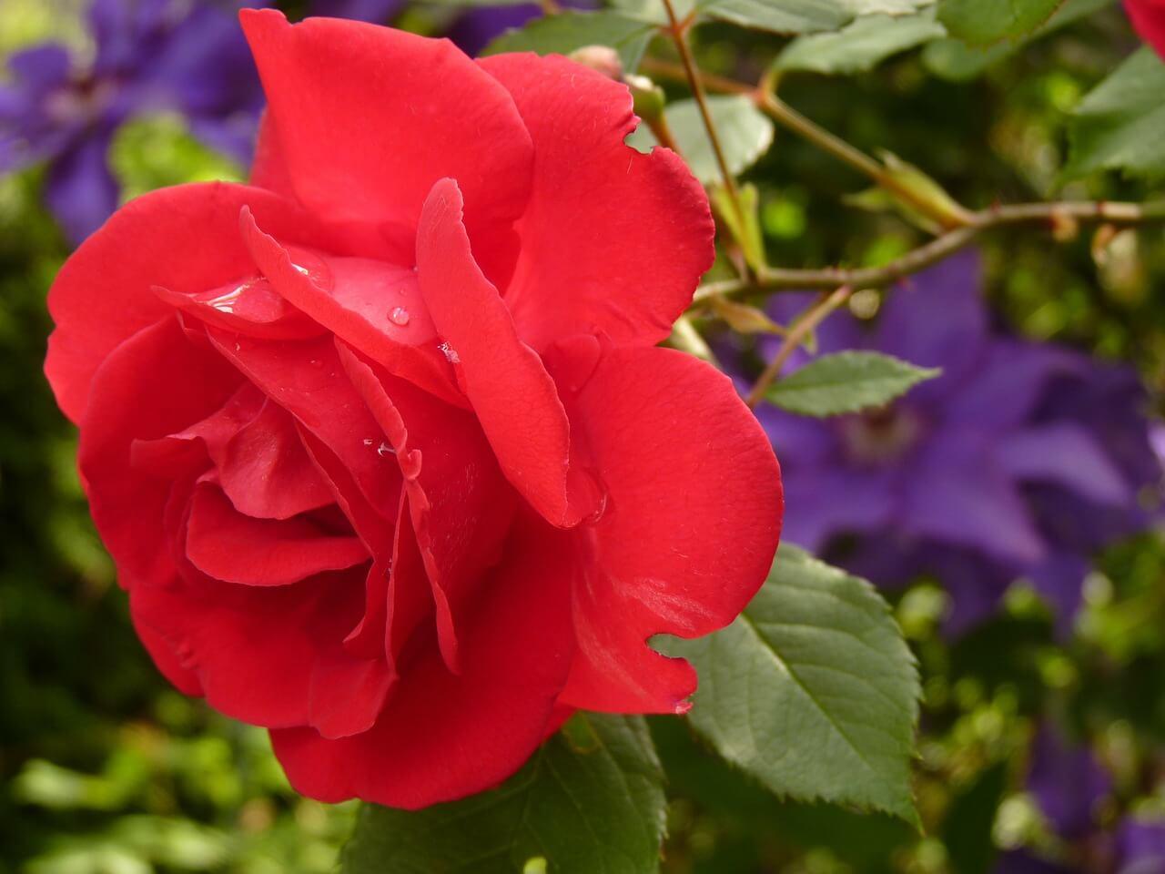 רקע של ורד