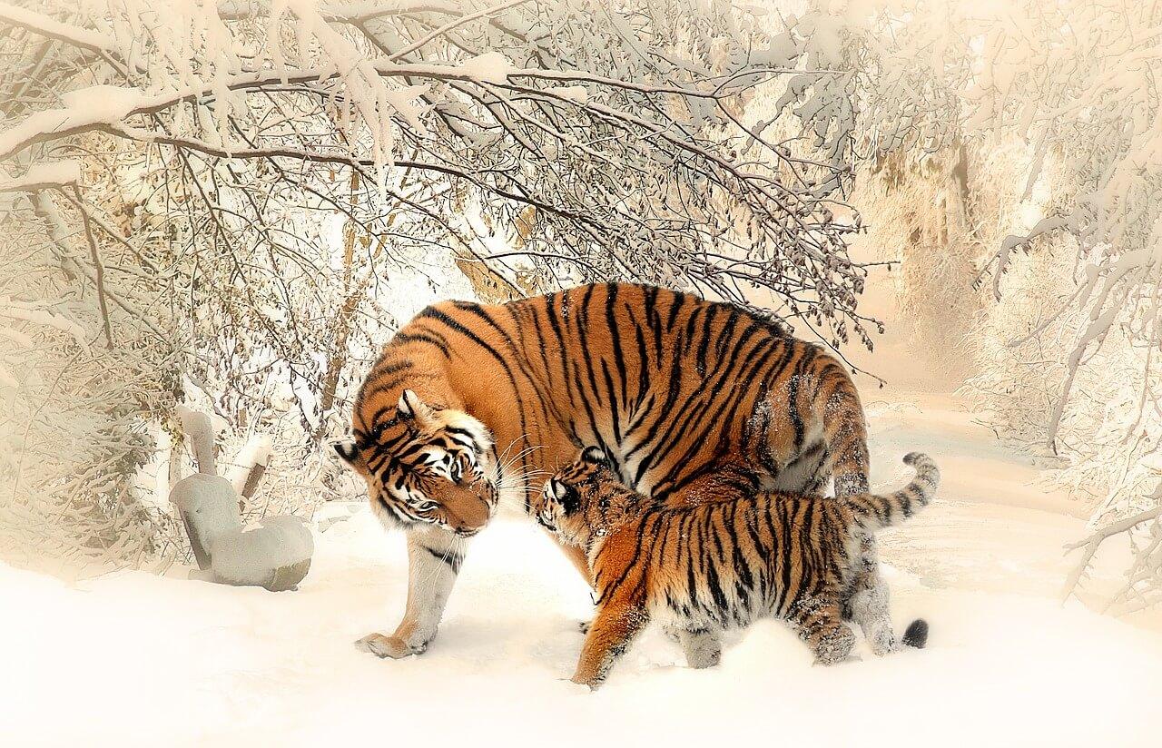 טיגריסים בשלג
