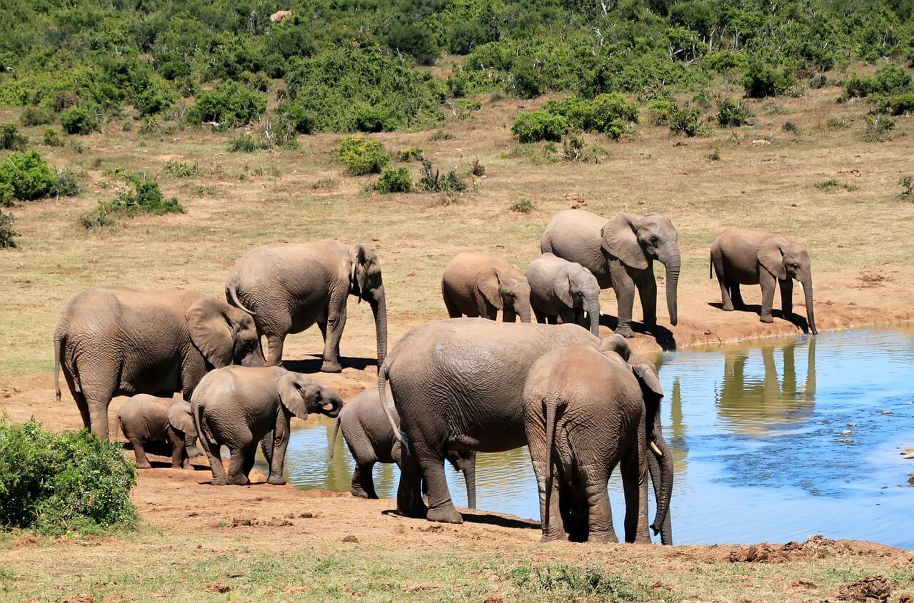 פילים