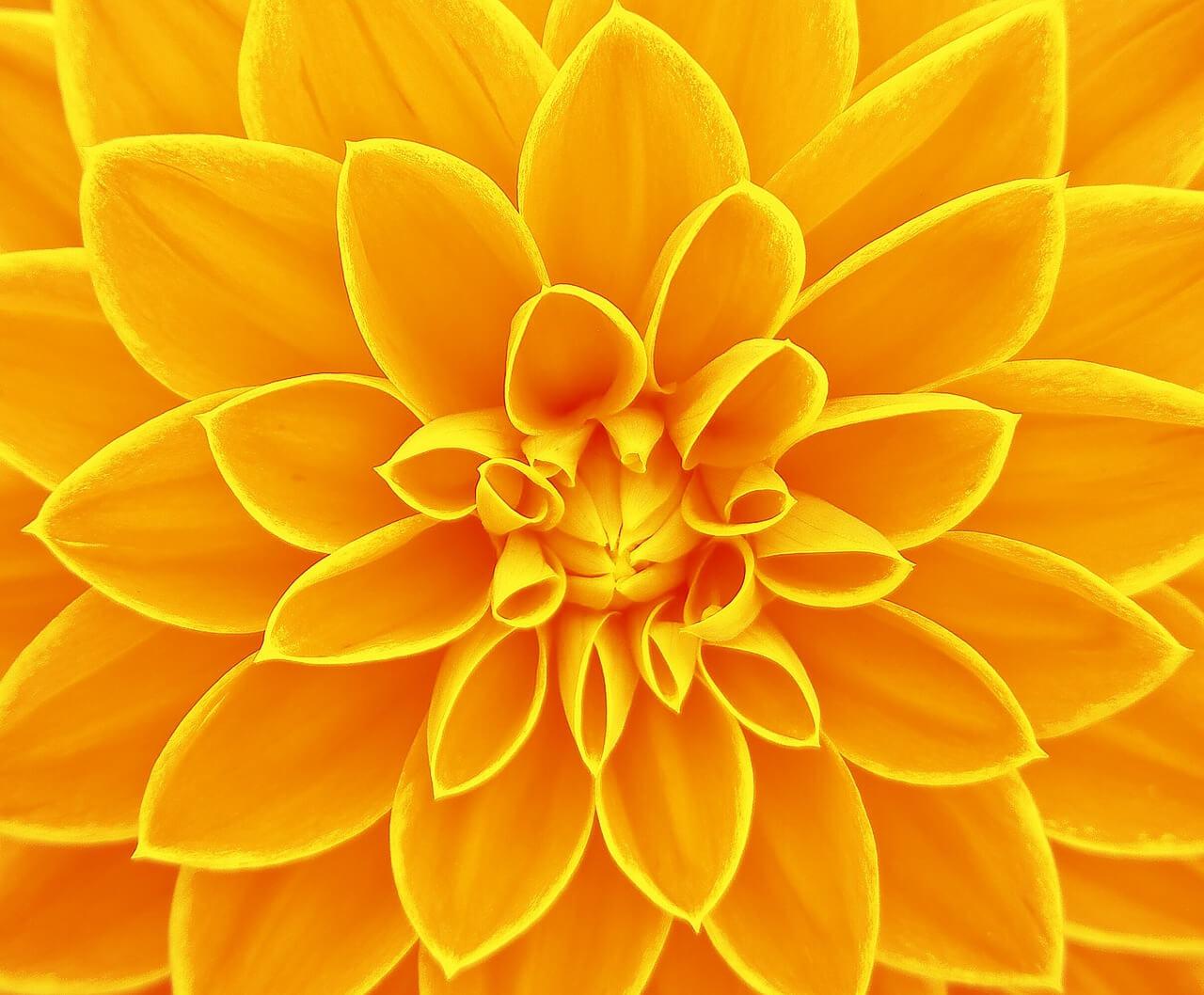 רקע פרח צהוב