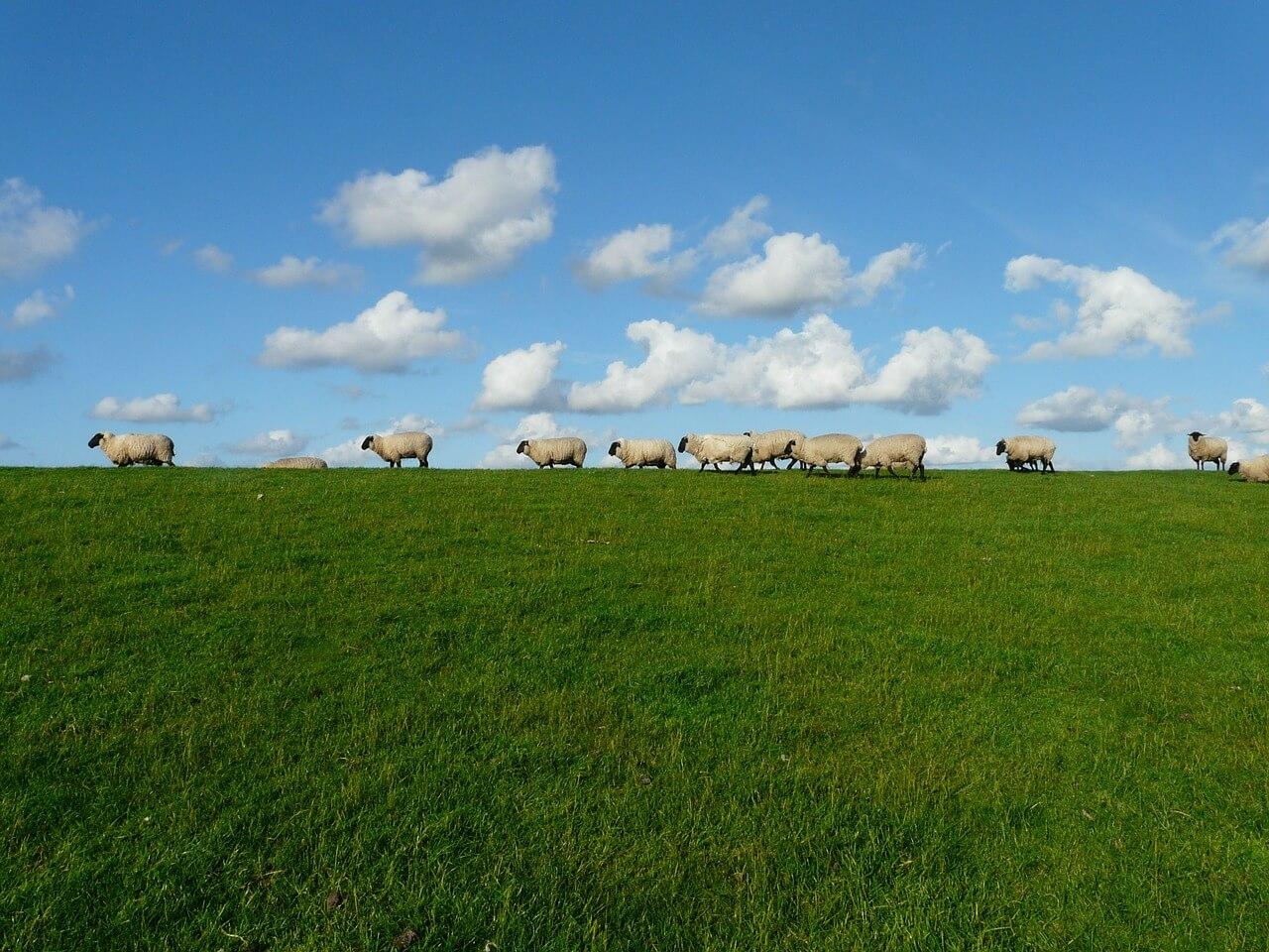 רקע של כבשים
