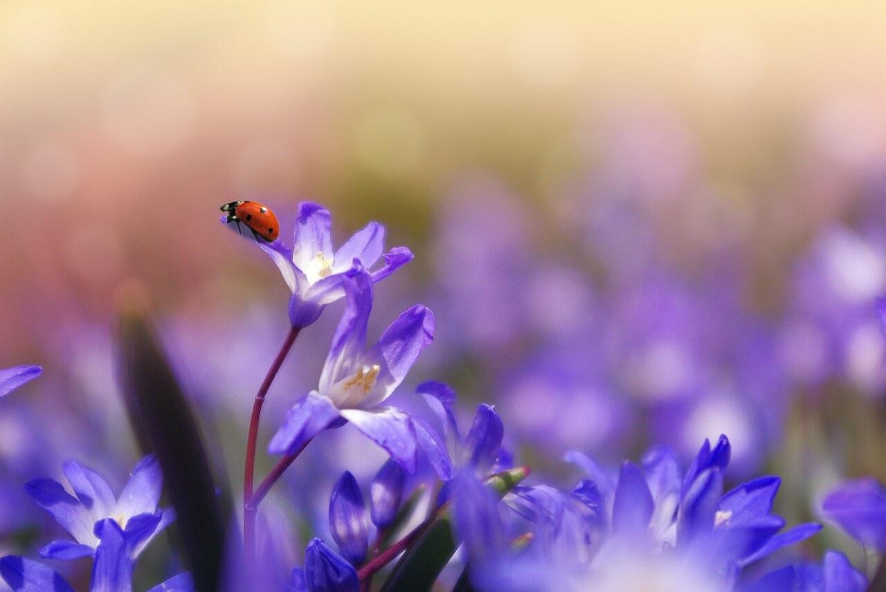 חיפושית על פרח