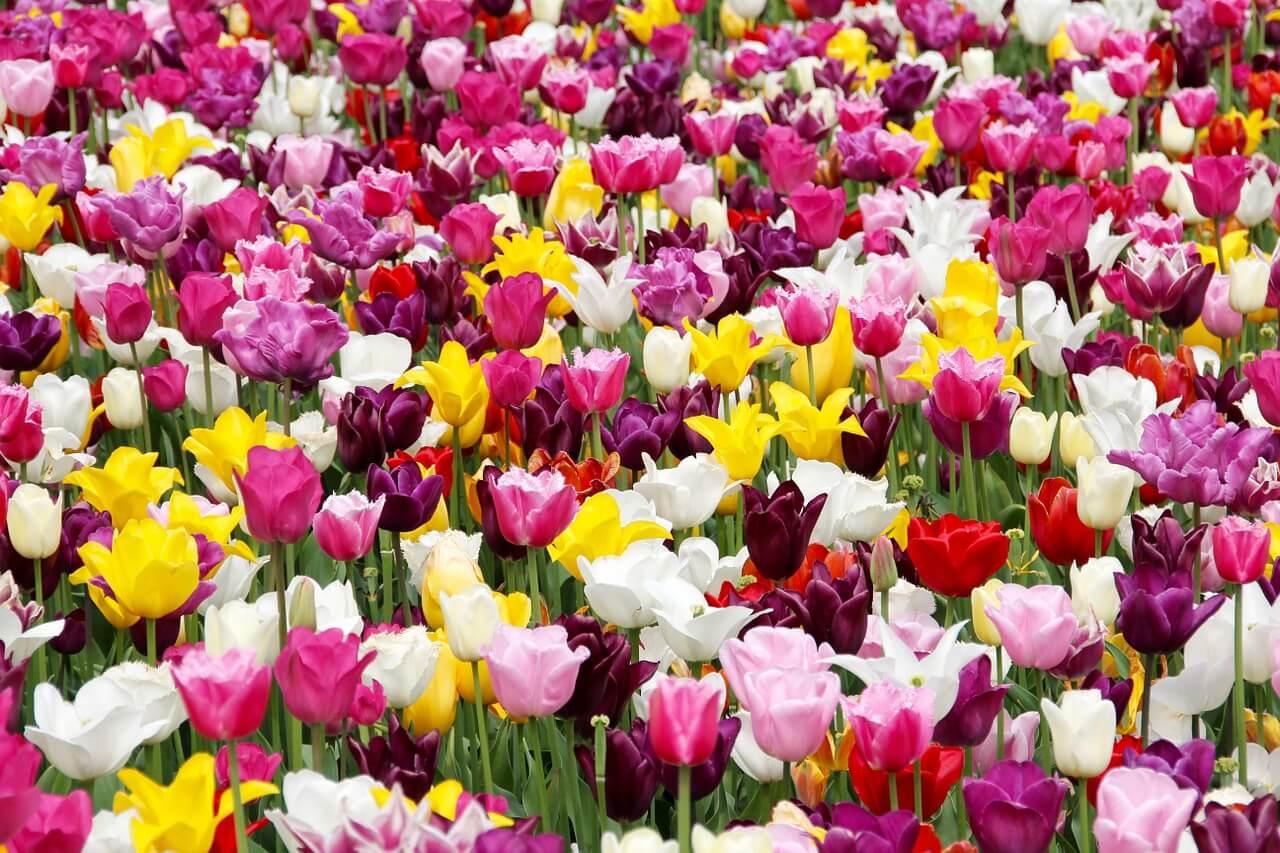 שדה פרחים צבעוניים