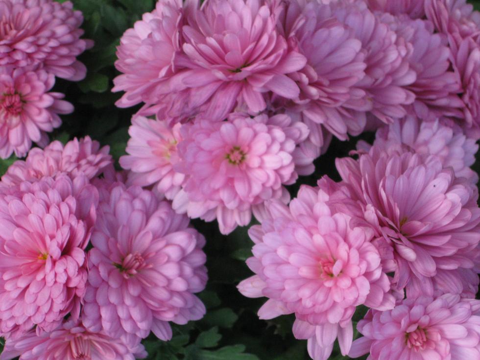 פרחים ורודים