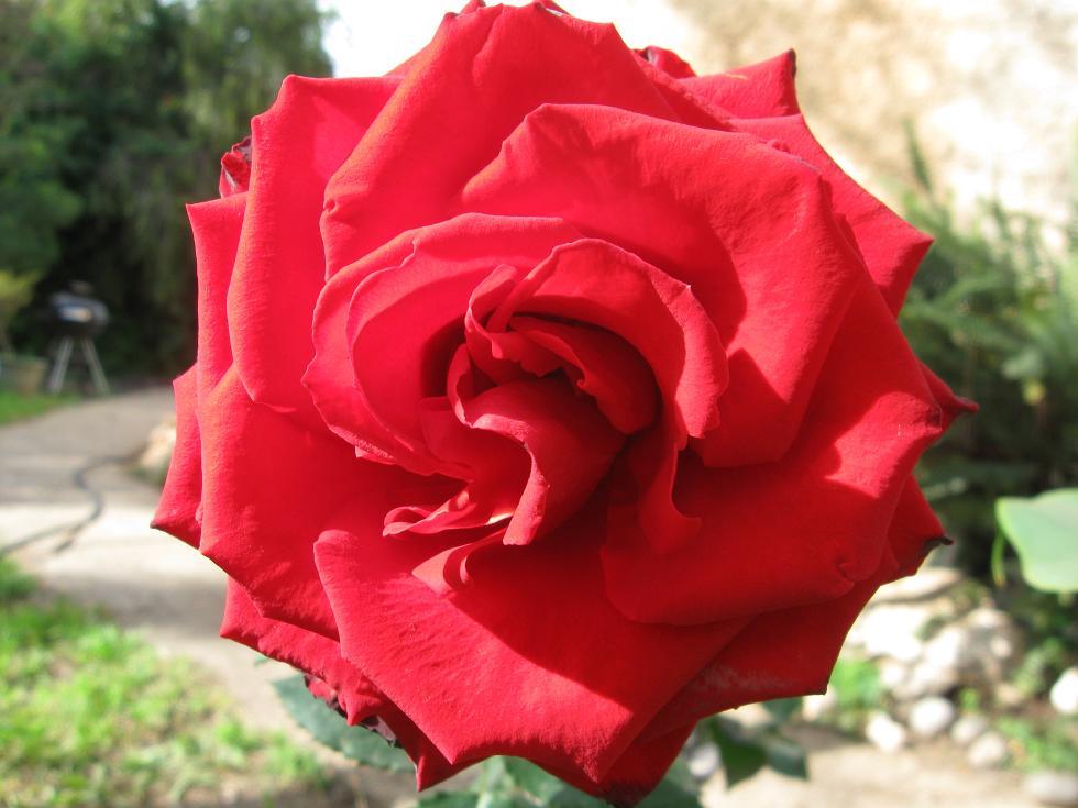 ורד יפה