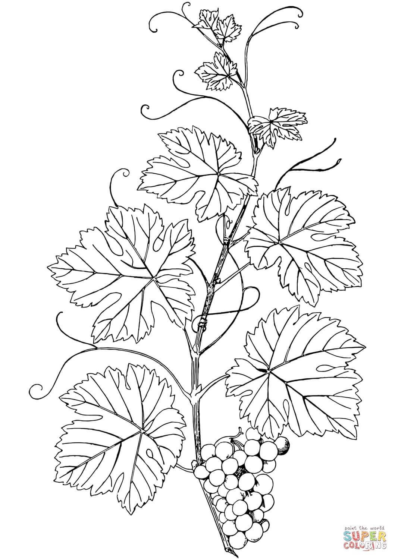 גפן וענבים לצביעה