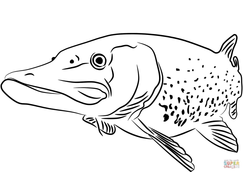 דג גדול לצביעה