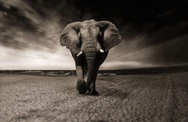 פיל בשחור לבן