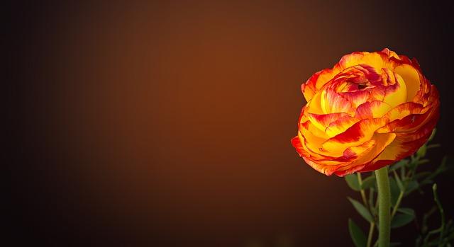 תמונה של פרח ורד