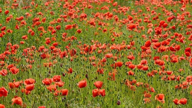 שדה פרחים פורח
