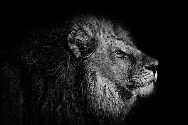 אריה בשחור לבן