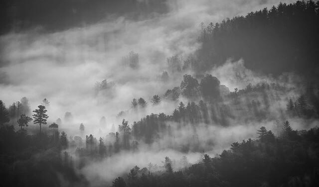 יער עם ערפל בשחור לבן