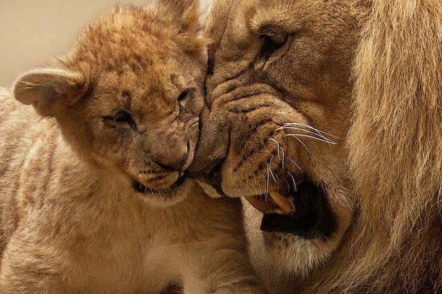 תמונה של אריות