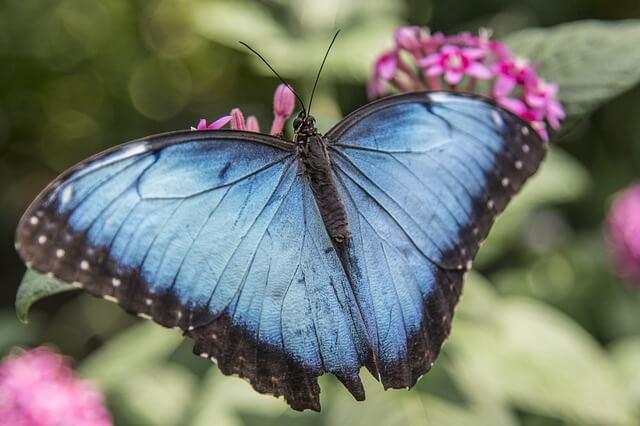 פרפר כחול