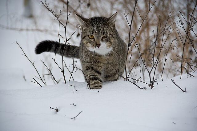 חתול בשלג