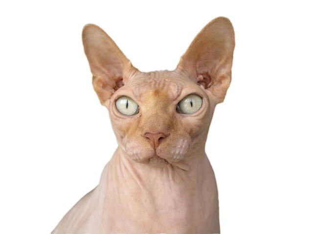חתול בלי פרווה