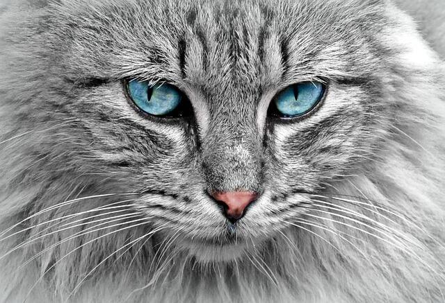 פנים של חתול