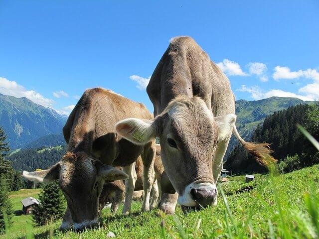 פרות חמודות