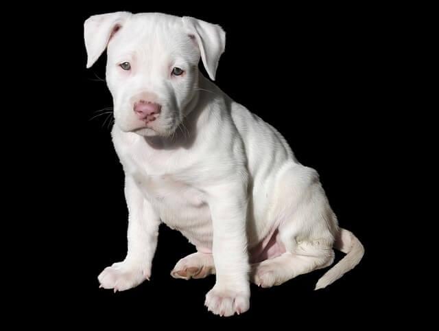 גור כלבים - פיטבול