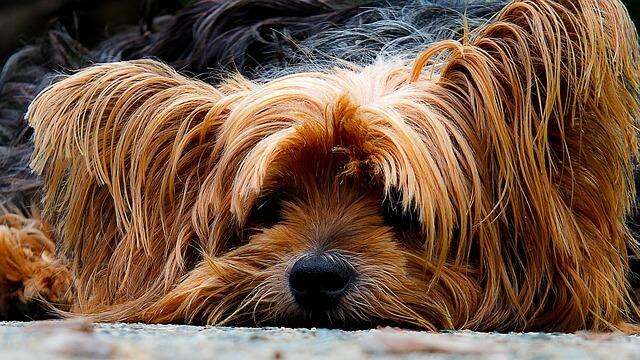 כלב עם הרבה פרווה