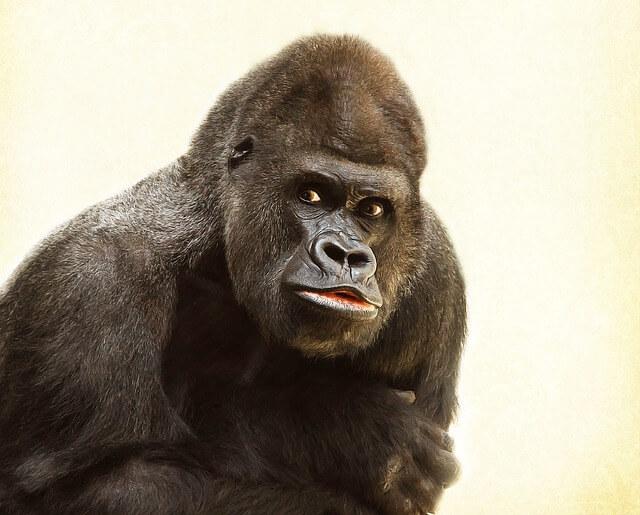 קוף גורילה