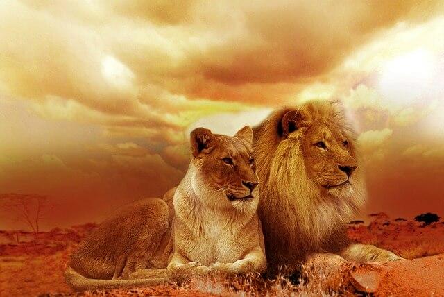 אריה ולביאה