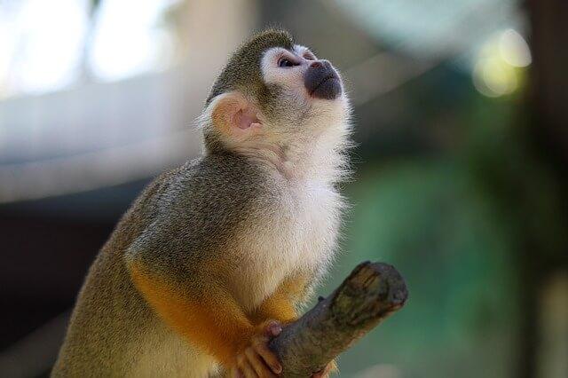 קוף קטן